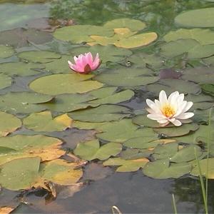 WaterLilly pond 2 300.jpg
